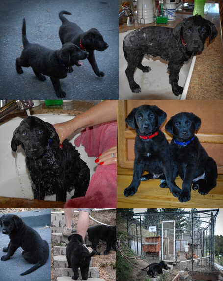 Puppy Sibling Collage